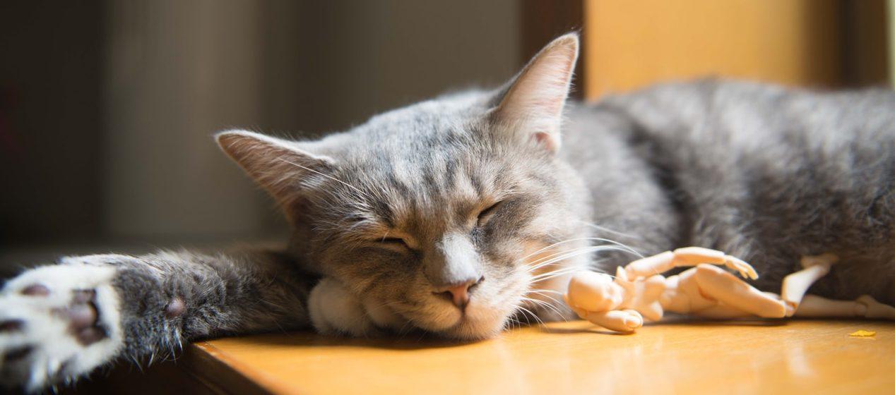 chat dort après manger